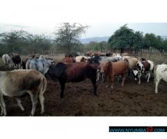 FARM LAND WITH 75 LIVESTOCKS fFOR SALE IN CHIKWAWA