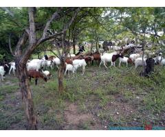 LIVESTOCK FARM FOR SALE IN CHIKWAWA