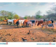 Cattle Farm for sale in Chikwawa